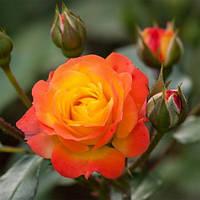 Роза плетистая Румба Климбинг / Rumba Climbing (контейнер 4 л)