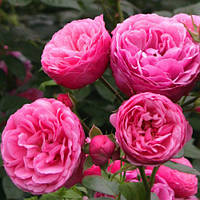 Роза Kordes флорибунда Помпонелла / Pomponella / Троянда Kordes флорибунда Pomponella (контейнер 4 л)