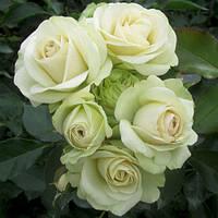 Роза флорибунда Лавли Грин / Lovely Green (контейнер 4 л)