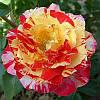 Роза чайно-гибридная Камиль Писсаро / Camille Pissarro (контейнер 4 л)