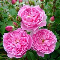Роза английский чайно-гибридная Мерлин / Merlin (контейнер 4 л) - опт