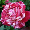 Роза чайно-гибридная Папагено / Papageno (контейнер 4 л) - опт