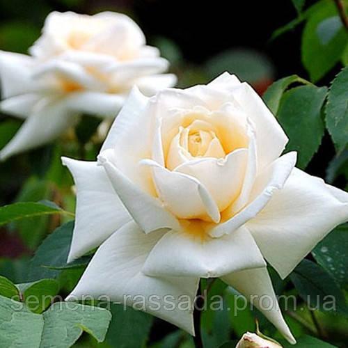 Обновлён ассортимент саженцев роз