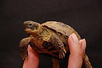 Сухопутная среднеазиатская черепаха и другие виды –ручные лапочки