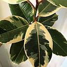 Фикус каучуконосный «Вариегатный» — крупное растение 30-40 см