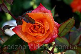 Саджанці троянд  Наранга (Naranga)