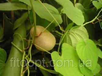 Диоскорея кавказкая(корень)