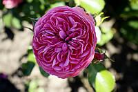 Саджанці троянд  Розаріум Ютерсен (Rosarium Uetersen, Розариум Ютерсен), фото 1