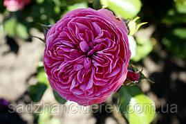 Саджанці троянд  Розаріум Ютерсен (Rosarium Uetersen, Розариум Ютерсен)