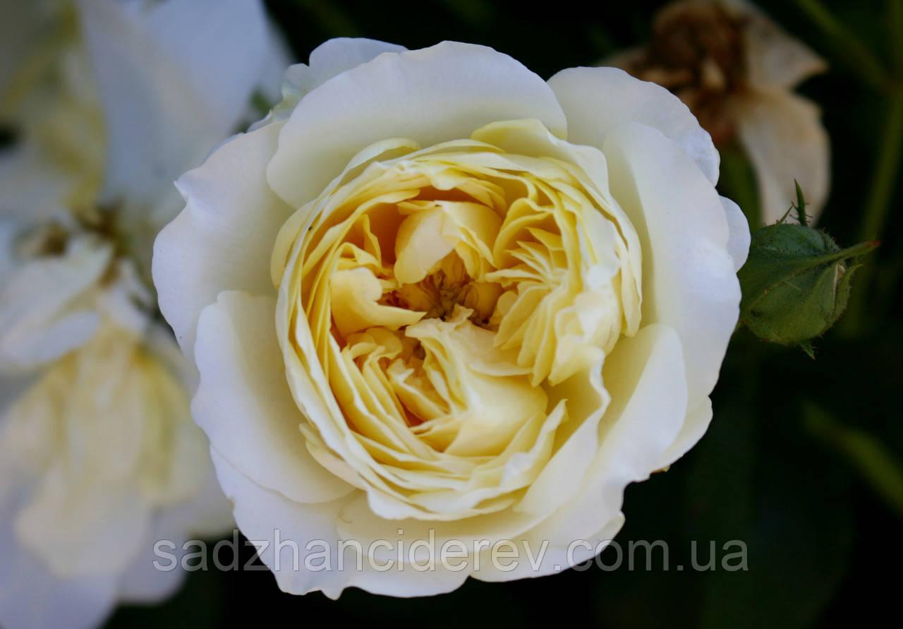 Саджанці троянд  Клер Остін (Клэр Остин, Claire Austin)