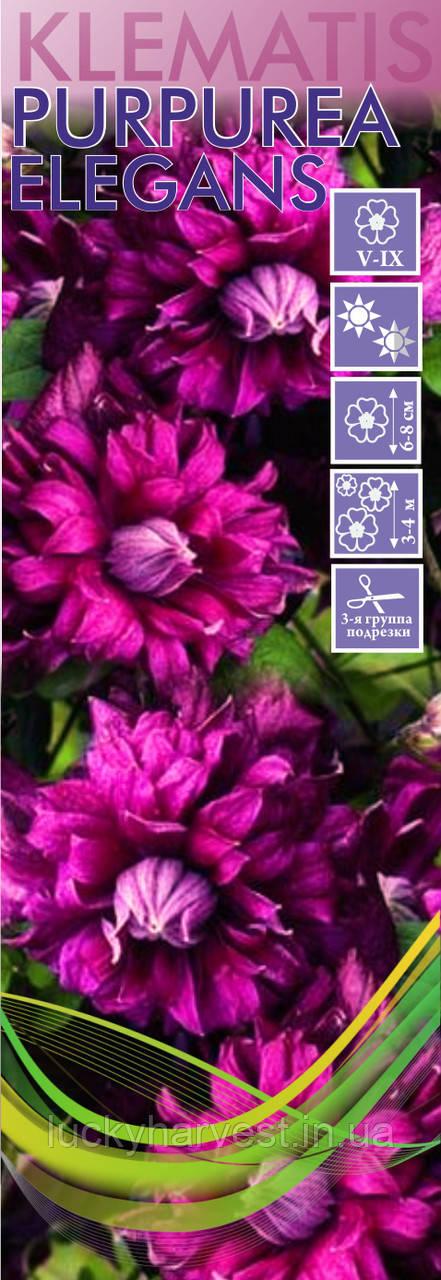 Саженцы клематиса  Purpurea Elegans