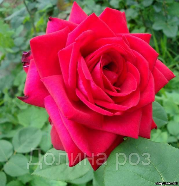 фото розы софи лорен