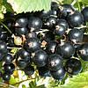 Смородина черная Юбилейная Копаня (контейнер 3 л, высота растения 30-40см)