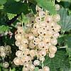 Смородина цветная Снежанна (контейнер 3 л, высота растения 30-40см)