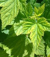 Смородина чёрная(лист)