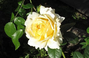 Роза Сирано де Бержерак (Cyrano de Bergerac) Плетистая