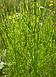 Хвощ полевой (трава) 100 грамм, фото 3