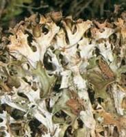 Цетрария (исландский мох )