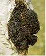 Чага( гриб ) 500 грамм, фото 3