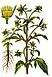 Череда (трава) 50 грамм, фото 3