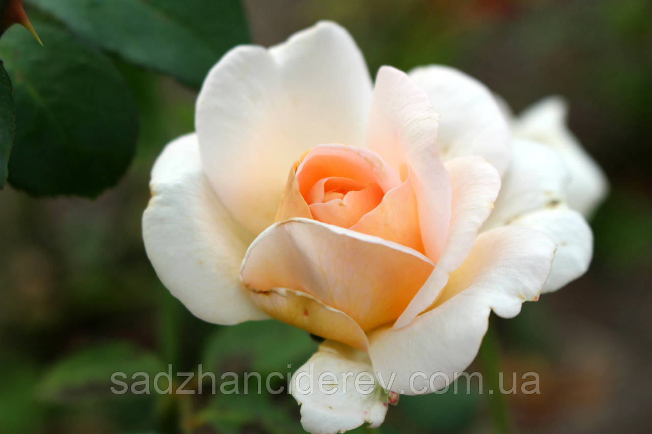 Саджанці троянд  Гранд Могюл (Grand Mogul, Гранд Могул)