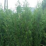 Туя западная Холмструп, Thuja occidentalis 'Holmstrup', 110 см, фото 4