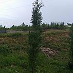 Туя западная Холмструп, Thuja occidentalis 'Holmstrup', 110 см, фото 3