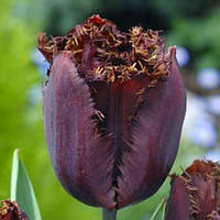 Тюльпан бахромчатый Black Jewel (Блeк Джевел) 3 шт./уп.