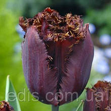 Тюльпан Black Jewel (Блек Джевел) оторочений 3 шт./уп.