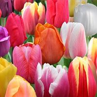 Клумба тюльпанов Триумф, 10шт