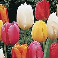Луковицы тюльпанов. Смесь простых сортов, 5шт