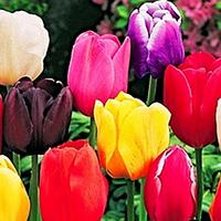 Луковицы тюльпанов. Смесь простых сортов, 7шт