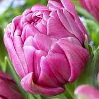 Тюльпан Дабл Принцесс, 5шт