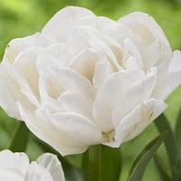 Тюльпан Уайт Харт
