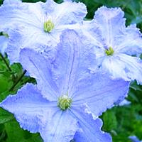 Клематис Blue Angel