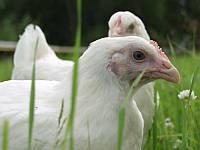 Подрощенные цыплята от бройлера. возраст 2 недели.