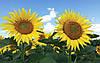 Семена подсолнечника Фолк (Под Гранстар 50г)