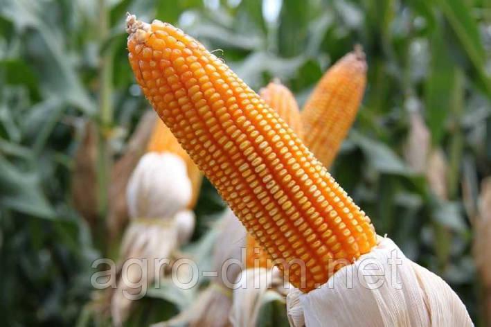 Семена кукурузы  Подольский 257 СВ, фото 2