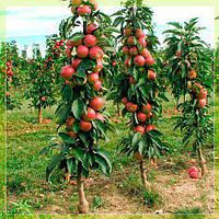 "Саженцы колоновидной яблони ,.Арбат"""