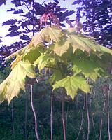 "Клен гостролистий золотолистий кулястий (Acer platanoides ""Golden Globe"")"