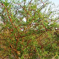 Саджанці Верба вавилонська (Ива вавилонская, Извилистая Тортуоза, Salix babylonica Tortuosa, Salix matsudana T