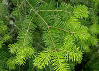 Пихта Бальзамическая Ялиця Бальзамічна (Abies balsamea), фото 1