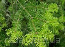 Пихта Бальзамическая Ялиця Бальзамічна (Abies balsamea)