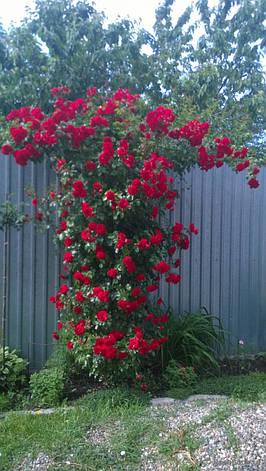 Роза Симпати (Sympathie) Плетистая, фото 2