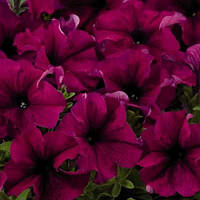 Семена Петуния крупноцветковая Аладдин F1 Бургунди Burgundy 500 семян Benary