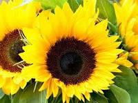 Рімі насіння соняшника
