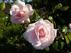 Роза Нью Доун (New Dawn) Плетистая, фото 2