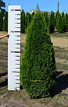 """Туя западная """"Смарагд"""" Thuja occidentalis ''Smaragd"""" ком см65 Высота h 160-180"""
