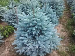 Ель колючая Kaibab (голубая) Picea pungens Kaibab Ком см55 Высота h 160-180, фото 2