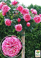 "Роза штамбовая ""Леонардо да Винчи"" (саженец класса АА+) высший сорт"